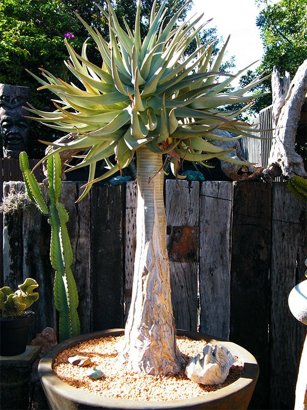 Aloe Dichotoma (Quiver Tree/Kokerboom)
