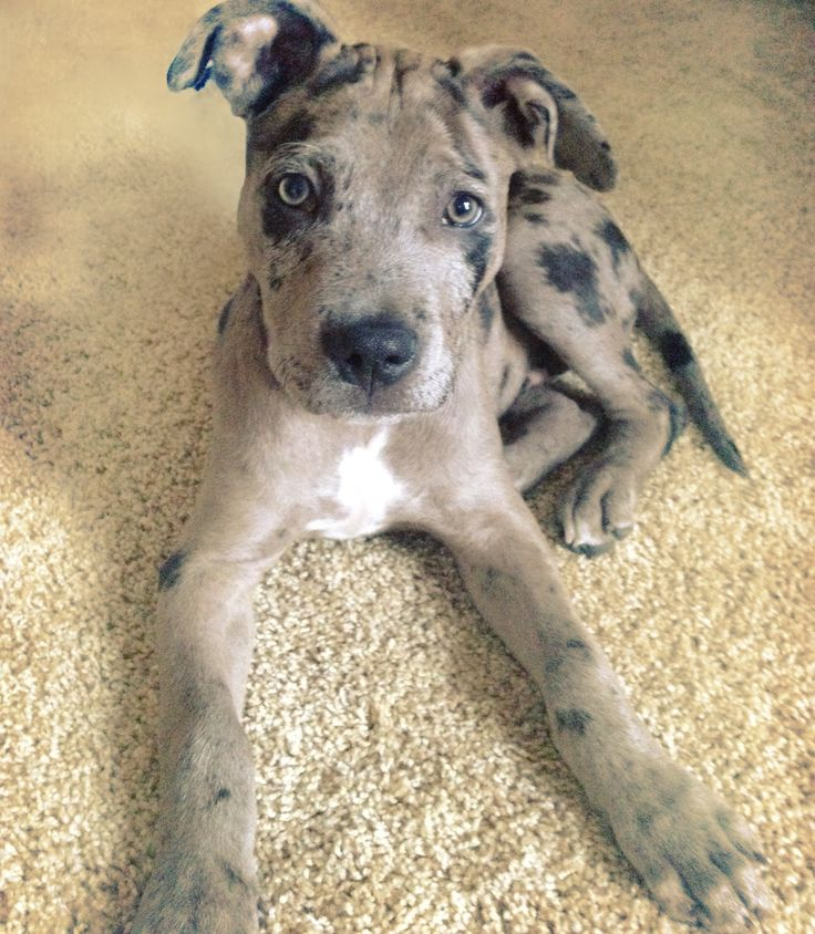 gorgeous mix! catahoula and pitbull mix