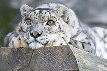 Schneeleopard – Wikipedia