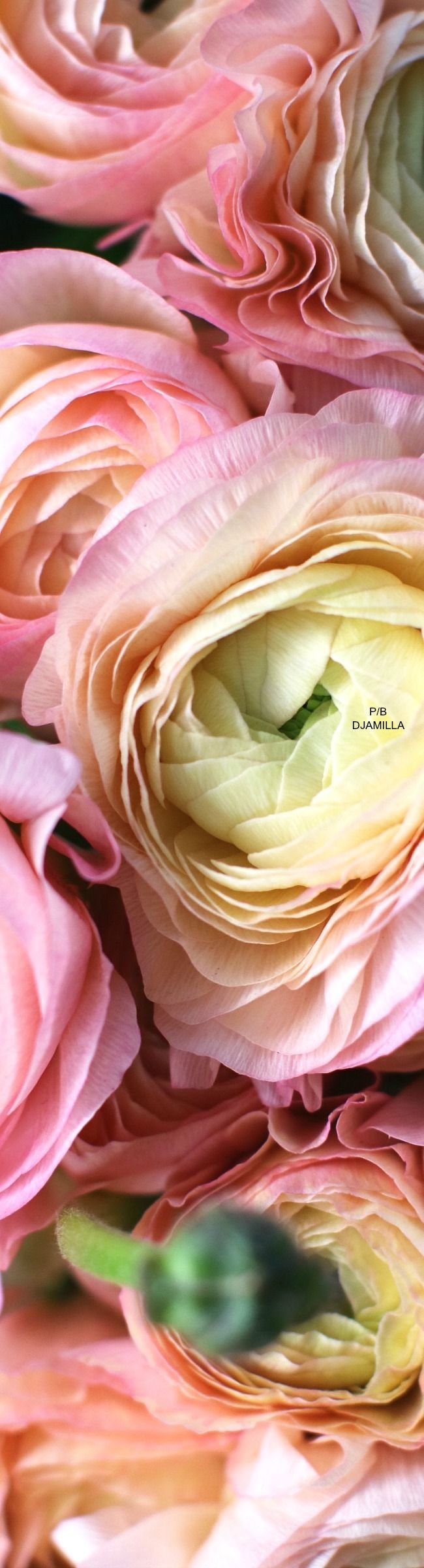 Epic 21 Stunning Peach Ranunculus https://ideacoration.co/2018/03/01/21-stunning-peach-ranunculus/ If you attempt to earn a list of flower names, you will see it to be never-ending. Best of all you don't need to settle for the exact old thing.