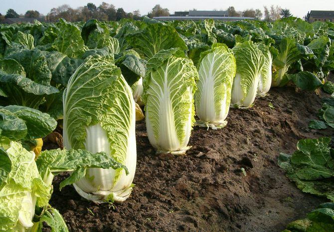 Выращивание пекинской капусты: основы и секреты урожая