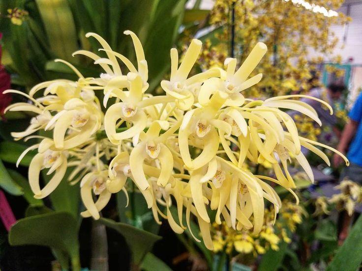 """ถูกใจ 372 คน, ความคิดเห็น 4 รายการ - AlohaOrchidSociety (@alohaorchidsociety) บน Instagram: """"From the orchid show.  Nice.  Den. speciosum  Owner: B&H Takamatsu  #luckywelivehi #hilife #hawaii…"""""""