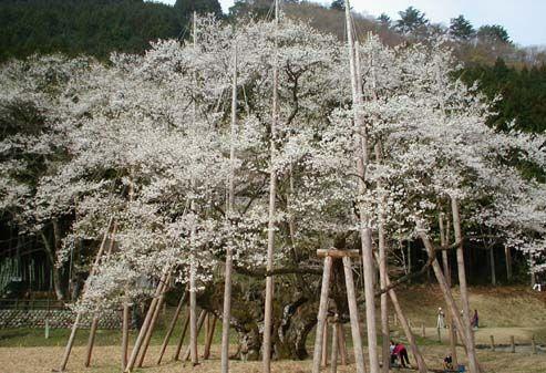 しだれ桜の名所!岐阜県のオススメはここ! | 新旬