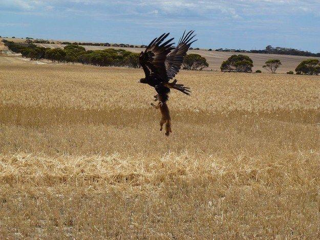 Cet aigle d'Australie chasseur de renards.
