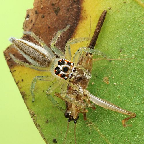 Jumping Spider with a Hopper | Flickr - Photo Sharing!