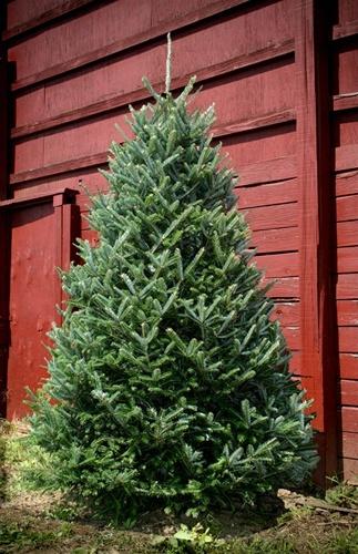 Just like the Frasier Fir Christmas Trees my father grows on his Tree Farm....sigh