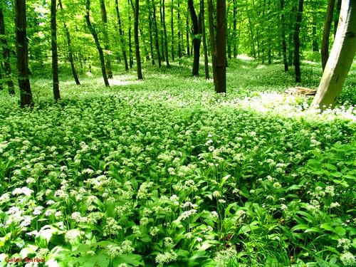 Tavasz a Nyugat-Mecsekben (Forest with Allium in West Mecsek) Medvehagyma