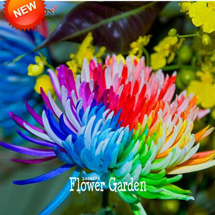 Rainbow Chrysanthemum Flower Seeds Rare Color DIY Home Garden Flower Plant  50 Pieces