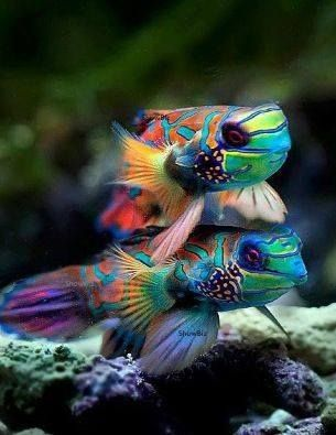 MANDARIN FISH...( synchiropus splendidus ). member of the dragonet family...found in the Pacific Ocean from the Ryukyu Islands , south to Australia