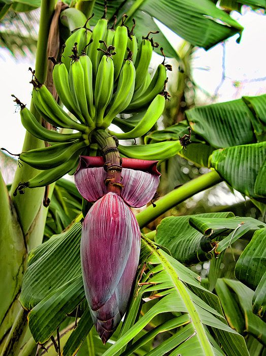 Banana Flower Print by Dan McManus.  All prints are professionally printed, packaged, and shipped within 3 - 4 business days. Choose from multiple sizes and hundreds of frame and mat options.