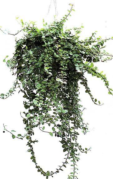 Best 20 ficus ideas on pinterest ficus tree indoor - Ficus elastica cuidados ...