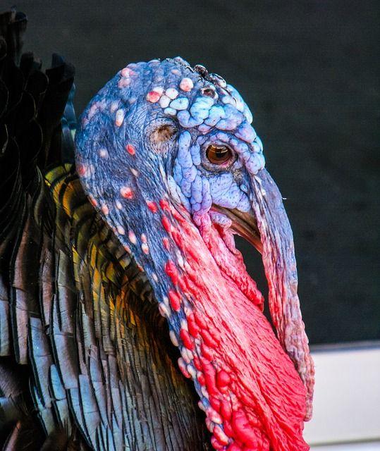 Turkey, Bird,