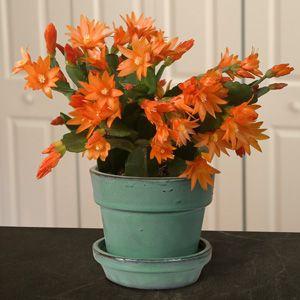 Orange Easter Cactus 'Colomba' (Rhipsalidopsis gaertneri)