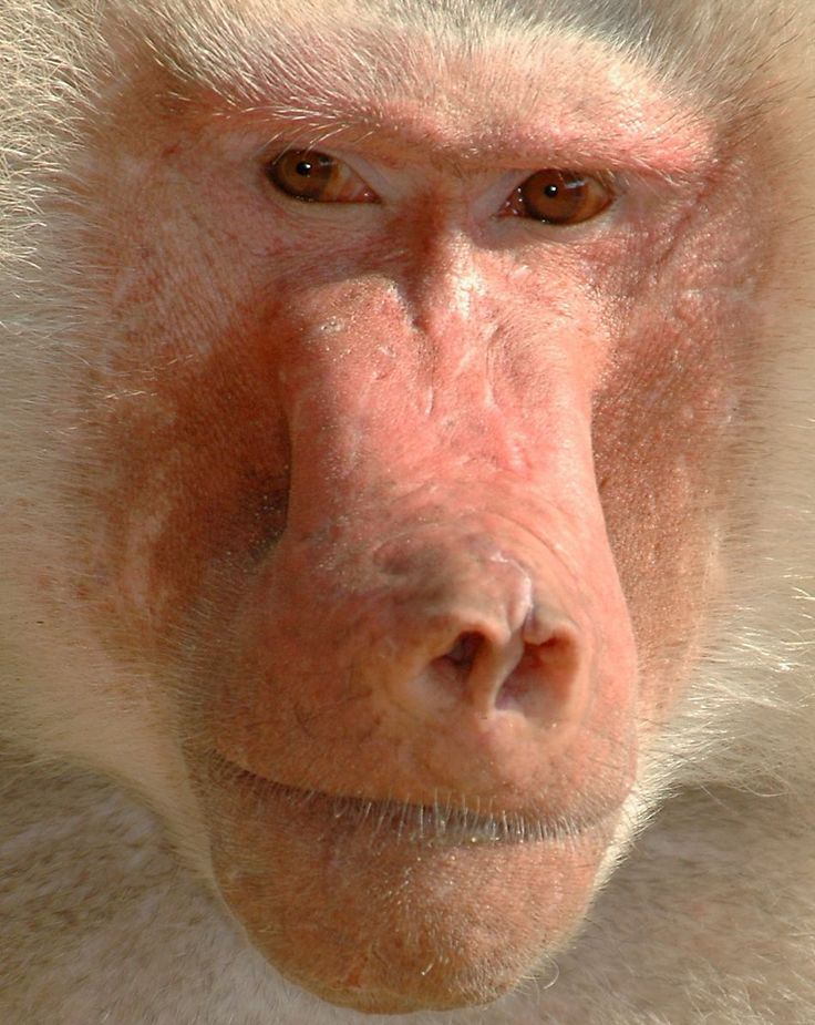 Hamadryas baboon extremely close-up! Baboon facts, photos and information precisely detailed in our amazing -AnimalStats- Fact Files