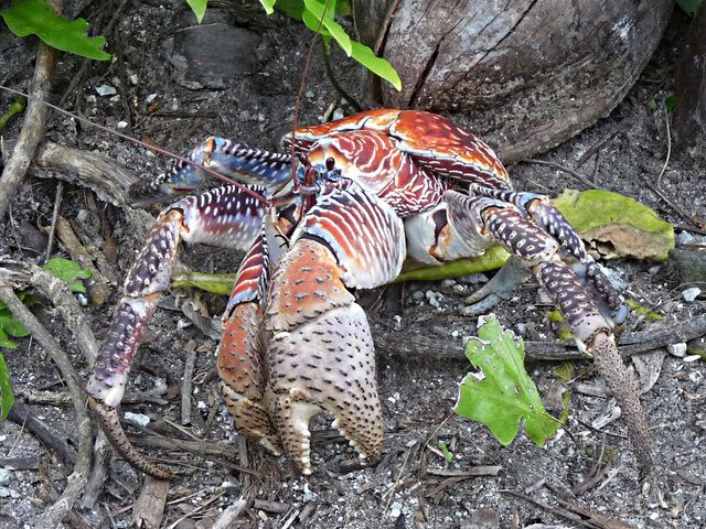 Weekend Nightmare Fuel: The Biggest Crawling Animals on Earth  These were all over the island on Guam.