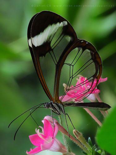 Mariposa con alas transparentes, Hermosaaaa!