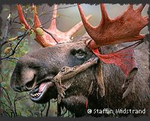 # Elk # Big # Horns