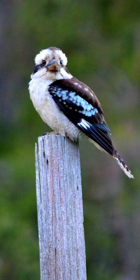 My Friend Mr Kookaburra
