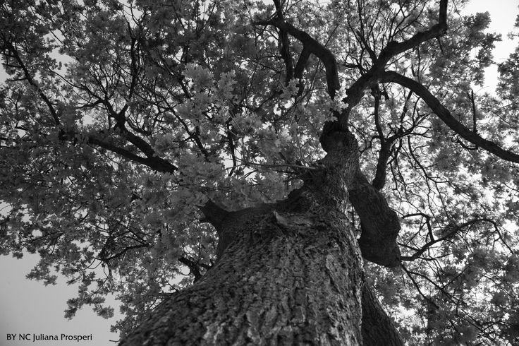 Chêne rouvre Une photo d'un arbre remarquable aux abords du village dans : Mauguio, du village à la ville, un site participatif  chroniques.mauguio-carnon.com