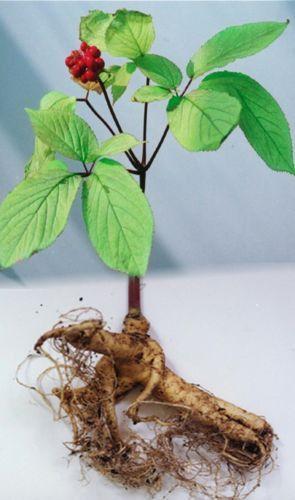 Red Korean Ginseng Plant (10 Seeds)