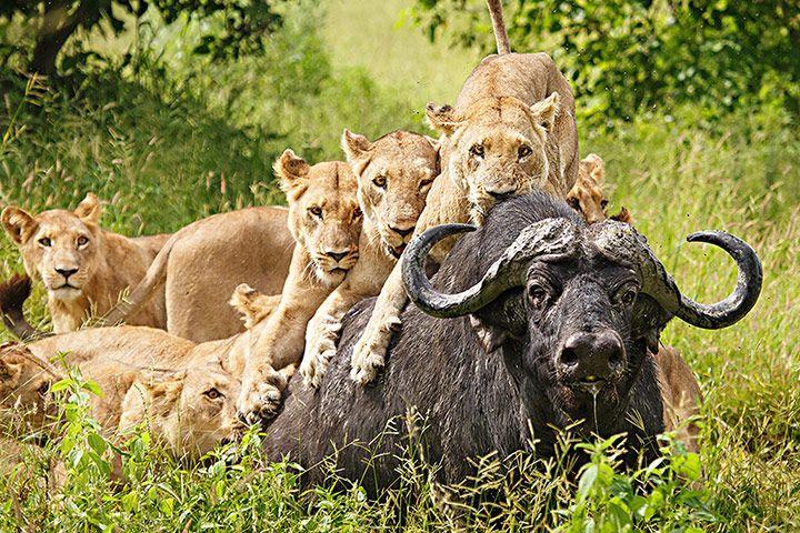 Credit: Ed Hetherington/TPOTY Ed Hetherington, runner-up in the Wild Stories category: lionesses hunting in the Okavango De...