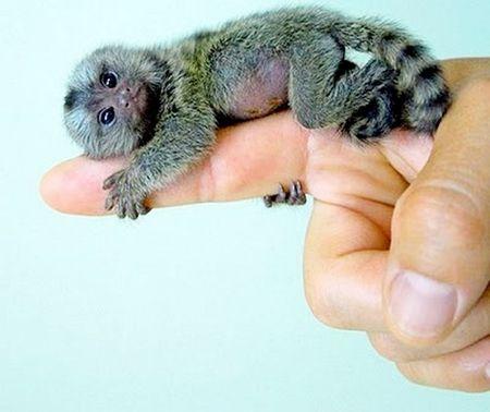 The finger monkey aka pygmy marmoset
