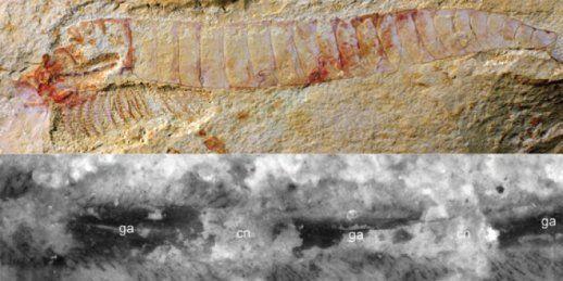 Окаменевшая нервная система возрастом 520 миллионов лет наиболее подробный пример, найденный на сегодня