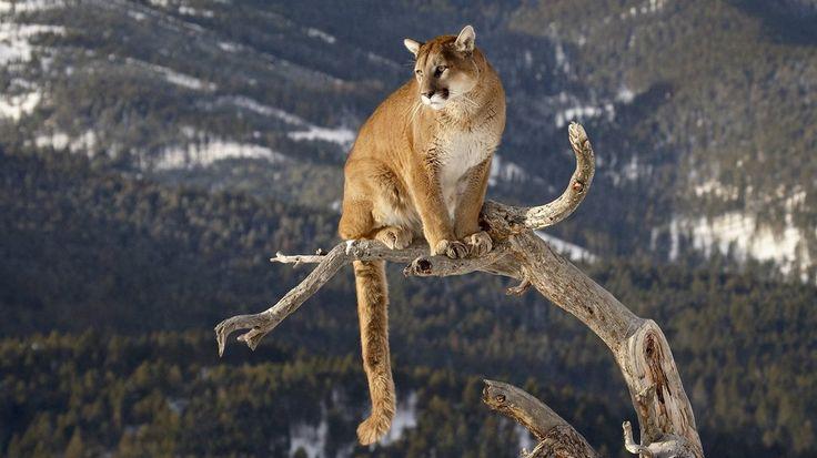 Puma, kot, tułowia, Lew górski wektor
