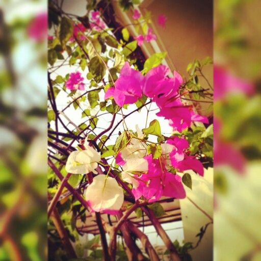 Bi colors bougainvillea at my lil garden
