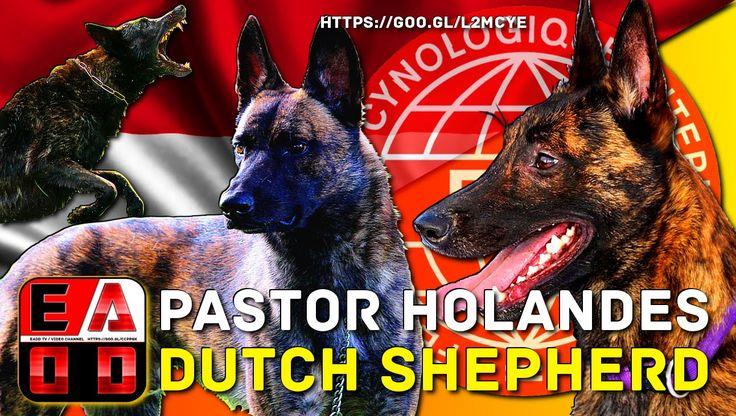 PASTOR HOLANDES - Historia, Aspecto general, cuidados y salud - EADD T...