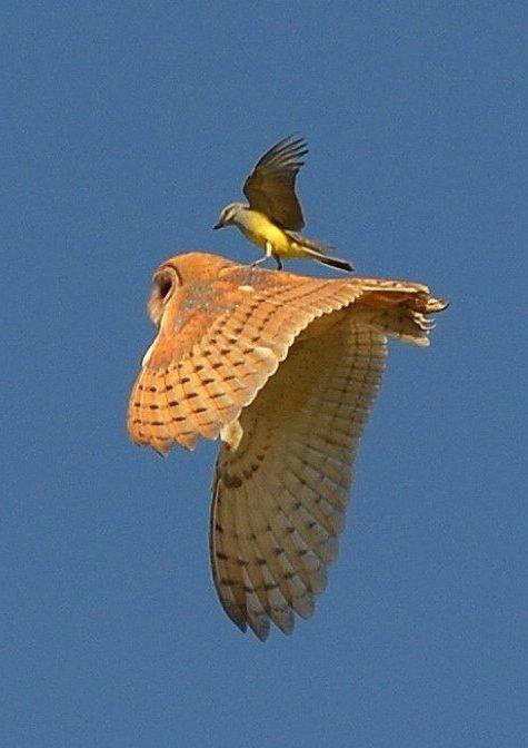 Barn Owl and bird