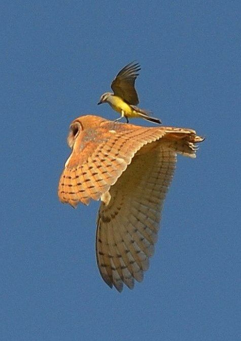 Barn Owl was chased until chaser bird landed on it and proceeded pecking the owl...a predicament, for sure.