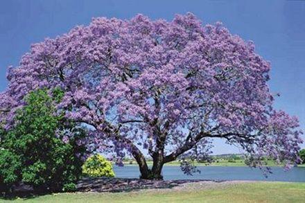 104 besten flowering tree in thailand bilder auf pinterest bl hende b ume thailand und blumen. Black Bedroom Furniture Sets. Home Design Ideas