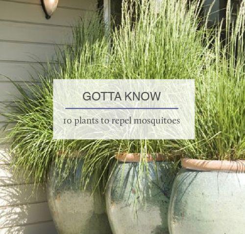 25 unique lemongrass mosquito ideas on pinterest anti mosquito plants mosquitoes and lemon. Black Bedroom Furniture Sets. Home Design Ideas