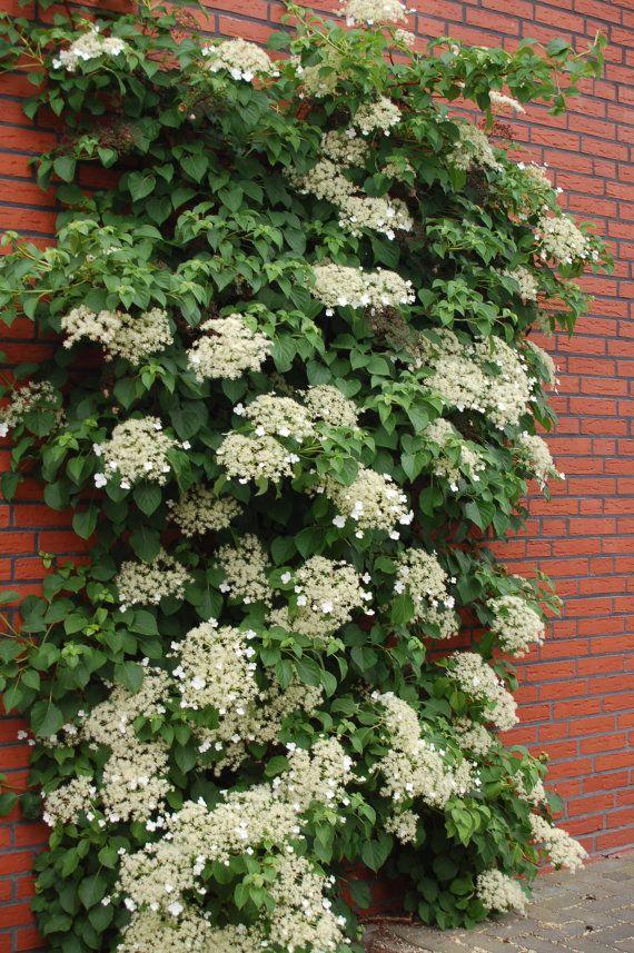 Climbing Hydrangea Seeds (hydrangea Anomala Petiolaris