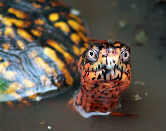 Eastern Box Turtle in water=WHAT YA LOOKING AT