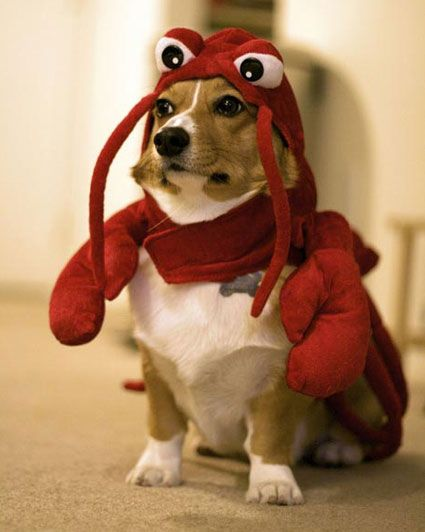 """lobster beagle. Hahahahhaha his face says """" get me the F$&@ out of here!""""Corgis, Puppies, Dogcostumes, Halloween Costumes, Dogs Costumes, Pets, Lobsters, Suits, Dogs Face"""