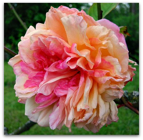 Souvenir de Madame Leonie Viennot: A Rose by Any Other Name Wouldn't Smell as Sweet