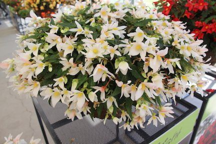 Westhoff's 'Shine Bright White' begonia – Greenhouse Product News