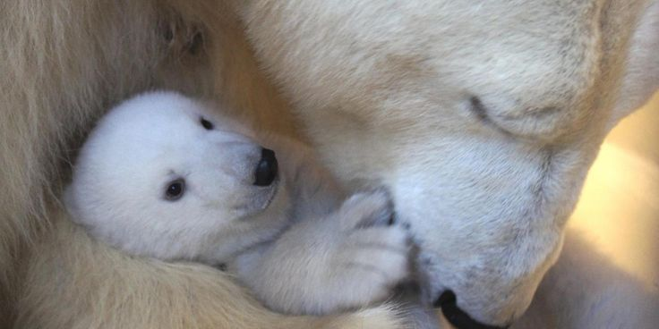 Image result for photos of polar bear cubs