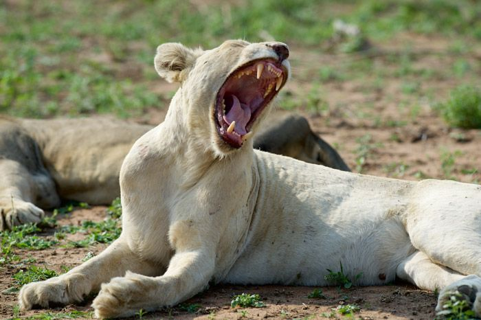 Video: rare footage of white lions mating.   White lions in the wild are an extremely rare occurrence, and until recently were only known to occur in the Timbavati area of the Greater Kruger – with recent sightings in the N'wanetsi area.    Jen Squillario/safaribugs