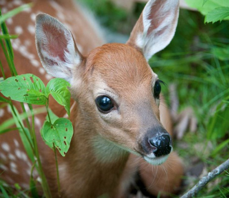 Deer Face Google Search Cute Baby Animals Baby