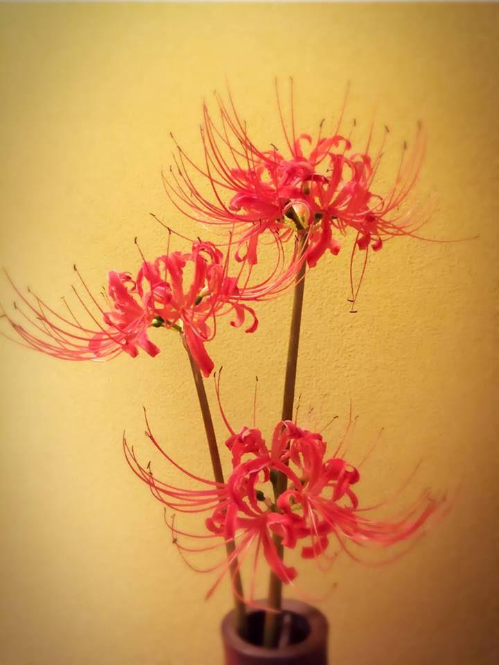 彼岸花 Cluster amaryllis