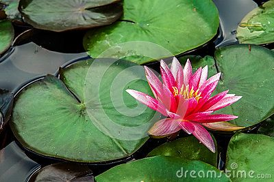 Nymphaea Water lily, small pink flowers that emerge from the water.
