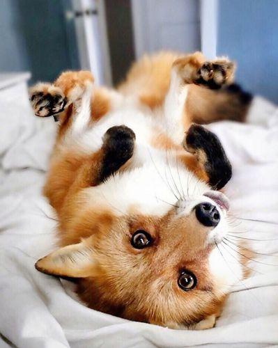 Juniper the Fox, Instagram Star