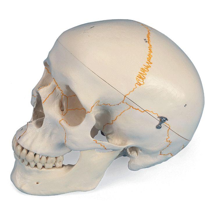 Modèle anatomique Crâne classique avec numérotation