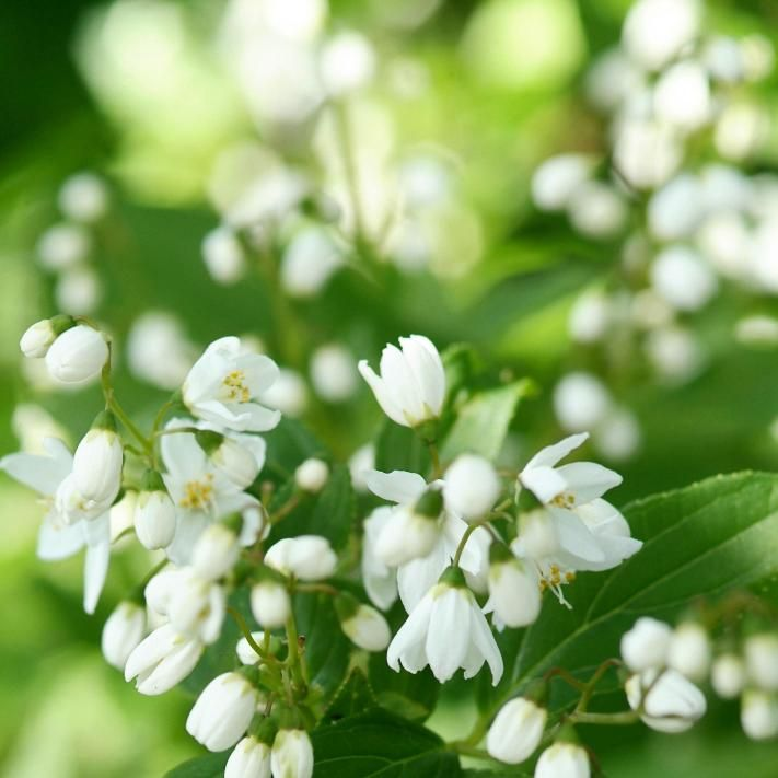 Maiblumenstrauch (Deutzia gracilis)