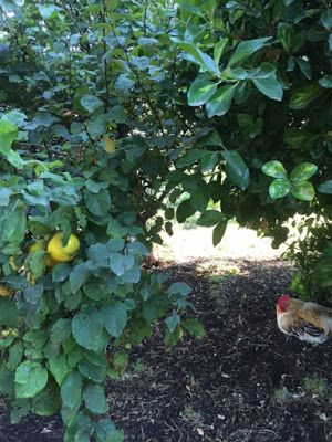 First Time Farmer: The fruit formally known as Quince