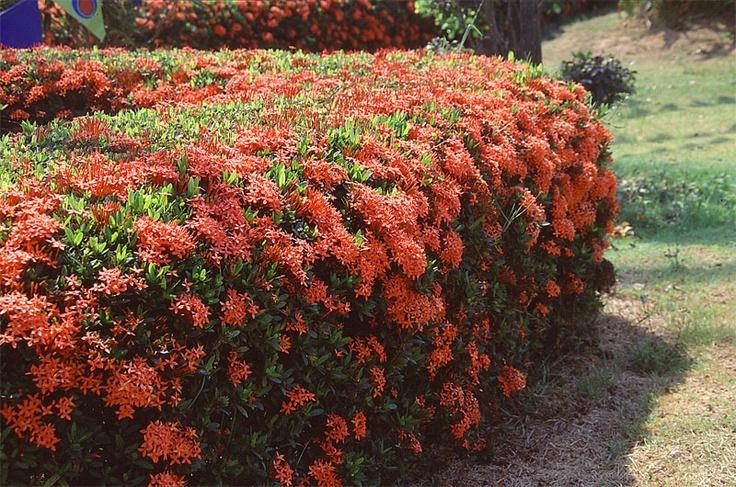 Ixora ixora coccinea tropical - Arbusto pequeno con flores ...