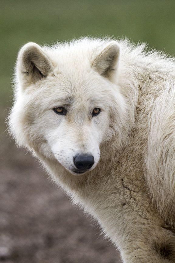 thatwanderinglonewolf:  Wolves (by wwmike)